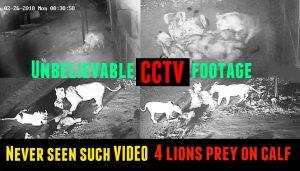Four lions enter GIDC in Junagadh city and prey on calf