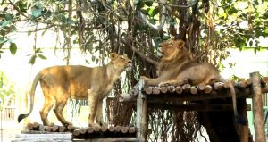 Yeh rishta manzoor nahi hai: Gujarat turns down alliance from Mumbai's sole lioness