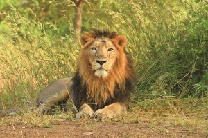 India's pride and joy: Saving the Asiatic Lions in Gir with Upma Bhatnagar on The Lion Kingdom